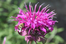 Bumblebee on Bee Balm Flower