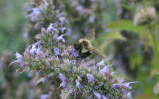 Bumblebee on Walker's Low Catmint