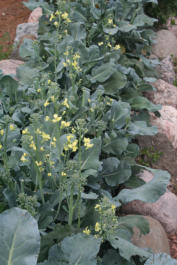 Brocolli Flowers attract Pollinators