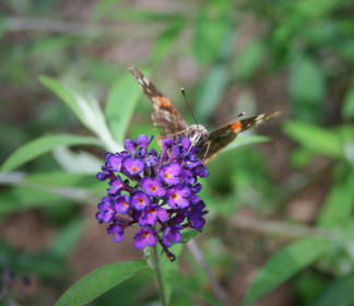 Butterfly on Butterfly Bush Flowers