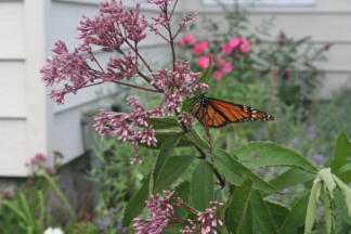 Monarch on Joe Pye Weed Flowers
